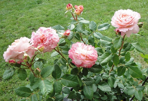 roses-anciennes_08-2014